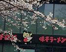 市中心的樱花开了